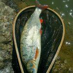 Podustva 40 - 50 cm je spolu s jalcom častý úlovok na nymfu