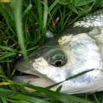 Zriedkavo je možné boleňa aktívne loviť na nymfu aj mokrú muchu