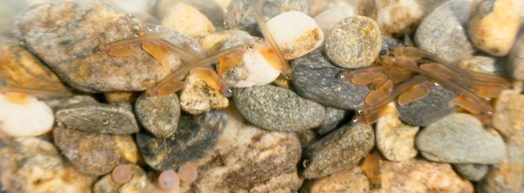 plôdik lososa atlantického