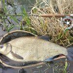 V Dunaji nájdete všetky naše druhy rýb, len väčšie. Napríklad veľké pleskáče...