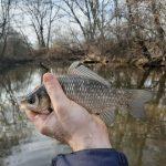 Skorý január - prvá ryba roka 2020, malý karas
